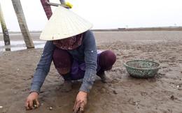 Nông dân Thanh Hóa buốt lòng nhìn ngao chết trắng bãi biển