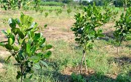 Nông dân trồng mít Thái trên đất lúa: Ồ ạt dễ dẫn đến kết quả thảm bại