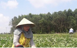 Nông dân Quảng Ngãi lại khóc ròng vì dưa hấu rớt giá, ế ẩm
