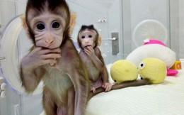 """Trung Quốc gây sốc với thí nghiệm """"nhân cách hóa"""" loài khỉ"""