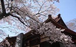 """Chiêm ngưỡng báu vật quốc gia của """"xứ sở mặt trời mọc"""": Cây hoa anh đào khổng lồ đẹp nhất thế giới, thọ nhất thế giới với tuổi đời 1800 năm"""