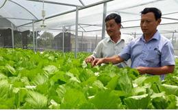Trồng rau thủy canh trong nhà lưới, nông dân Quảng Nam bội thu