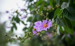 Hoa bằng lăng nhuộm tím phố phường Hà Nội