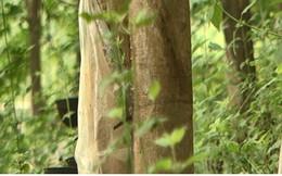 """10 năm trồng cao su, nhiều người dân Sơn La """"vỡ mộng"""" vì thất thu"""