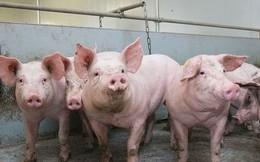 Dịch tả lợn châu Phi diễn biến phức tạp, giá lợn hơi tiếp tục giảm