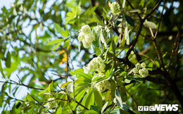 Hoa sữa nở giữa mùa hè: Chuyên gia lý giải do cây 'lầm tưởng' mùa thu đến'