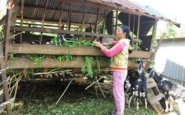 Giá dê cao kỷ lục, người dân Bình Phước đổ xô… nuôi dê