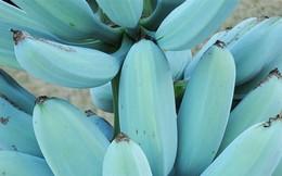Ngỡ ngàng với chuối xanh da trời hơn 2 triệu đồng/nải