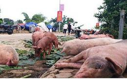 Dịch tả lợn châu Phi tại Hà Nội vẫn diễn biến phức tạp 