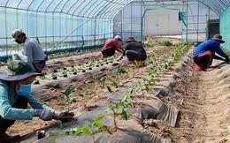 Sang Hàn hái ớt, cà chua... lương 40 triệu đồng/tháng