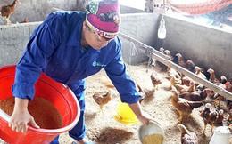 """Người chăn nuôi Quảng Ninh không """"treo chuồng"""" sau dịch tả châu Phi"""