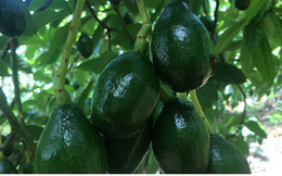 Bơ Sơn La được xuất khẩu đi nhiều quốc gia