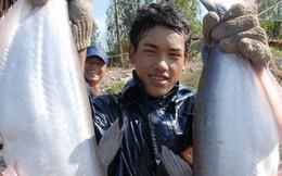 Giá cá tra tuột dốc