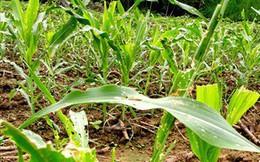 Tuyên Quang: 112 ha ngô bị sâu keo mùa thu gây hại