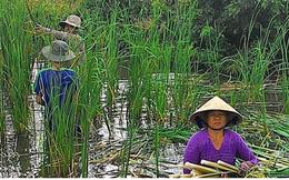 Nông dân Cà Mau kiếm cả trăm triệu mỗi năm nhờ cây bồn bồn