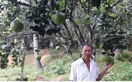 Người dân Hòa Ninh giàu lên từ cây bưởi