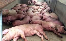 Dịch bệnh khắp 63 tỉnh thành, giá tăng cao, ồ ạt gom lợn bán sang Trung Quốc