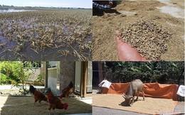 Thóc nảy mầm vứt cho trâu ăn, dân rơi nước mắt lo ngày mai