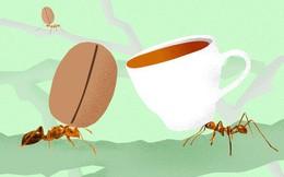 """Nghe cafe chồn, cafe voi đã lâu, hóa ra còn có cả """"cafe kiến"""" cực độc mà có tiền cũng chưa chắc mua được"""