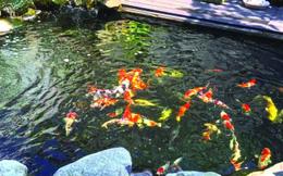 Kiếm tiền tỷ từ nuôi cá cảnh