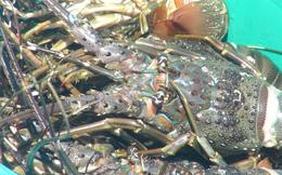 Nuôi và xuất khẩu tôm hùm buộc phải thay đổi: Người nuôi lẫn doanh nghiệp đều lúng túng
