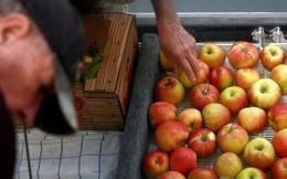 """Chiến tranh thương mại leo thang nhưng người nông dân trồng táo Mỹ vẫn """"khỏe re"""", vì sao?"""