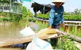 Nông dân đang oằn mình cứu cây ăn trái và hoa kiểng trước triều cường lịch sử