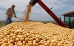 Trung Quốc tranh thủ mua gom đậu tương Mỹ trước thềm đàm phán thương mại Trung – Mỹ