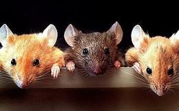 3 con chuột liên thủ đi ăn trộm, tưởng được mẻ lớn ai ngờ chết cả 3: Lý do rất đáng ngẫm