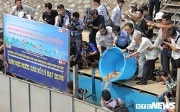 Gần 1 tháng sau khi thả, đàn cá Koi Nhật Bản trên sông Tô Lịch sống ra sao?
