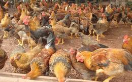 Kon Tum phát hiện gần 1.000 con gà nhiễm cúm A/H5N6