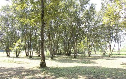 Trùng Khánh vào mùa hạt dẻ