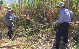Giá nhân công thu hoạch mía đầu vụ tăng cao ở Hậu Giang