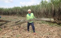 Hàng ngàn ha mía chậm thu hoạch, nguy cơ thiệt hại lớn
