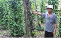 Nông dân Bình Phước lo mất mùa tiêu