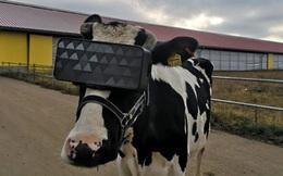 Chuyện lạ ở Nga: Cho bò đeo tai nghe và ngắm cảnh qua kính VR để cải thiện tâm trạng, thu được nhiều sữa hơn