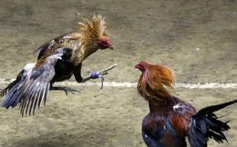 """Đá gà, chọi gà: Chiêm ngưỡng vẻ đẹp của môn thể thao """"quốc dân"""" 6.000 năm tuổi tại Philippines"""