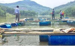 Nuôi cá lòng hồ thủy điện ở Quảng Ngãi cho hiệu quả kinh tế cao