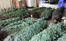 Thông tươi chơi Noel, 30 triệu/cây trưng mấy hôm rồi làm củi