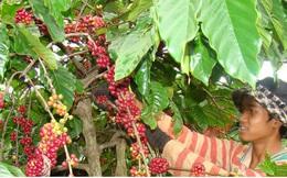 Cà phê Việt Nam chịu ảnh hưởng nặng nề vì khủng hoảng giá