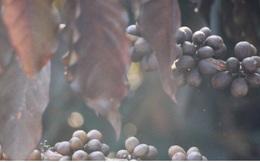 Xót xa cây cà phê chết vì sương muối, nhiều nông dân Sơn La trắng tay