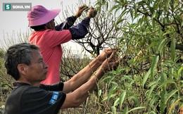 Vặt lá đào thuê, kiếm hơn chục triệu mỗi tháng