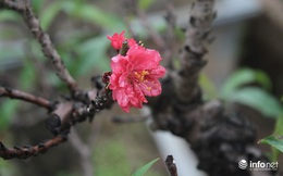 Đào Thất Thốn - Loại đào Tiến Vua, chỉ thích nằm điều hòa, đã chịu... nở hoa