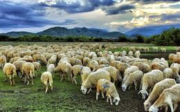 Tìm giáo sư học thuật dùng người, chàng trai được dẫn đi thăm chuồng cừu nhưng nhanh chóng tâm phục khẩu phục: Nhìn người như đếm cừu, trước hết phải có tâm!