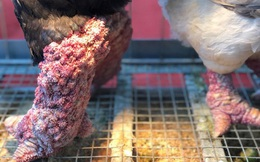 Kỳ lạ cặp chân gà Đông Tảo nở như súp lơ, được rao bán giá hơn 10 triệu đồng