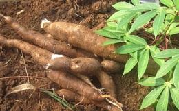 Xuất khẩu tinh bột sắn sẽ tiếp tục trầm lắng trong tháng 1/2020