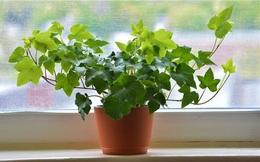 Không chỉ mang ý nghĩa phong thủy, trang trí căn phòng, những loại cây dưới đây còn giúp lọc sạch không khí, cải thiện sức khỏe