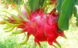 Chung tay tiêu thụ thanh long: nhà máy hoa quả sấy Nafoods chạy 100% công suất, Lavifood thu mua 1.000 tấn làm nước ép, Vinmart bán 9.900 đồng/kg