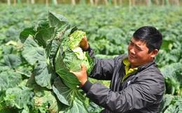 Bắp cải giá 1.000đồng/bắp, nông dân định băm nhỏ ủ làm phân