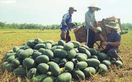 Gần 22 nghìn tấn dưa hấu sắp thu hoạch, Quảng Ngãi chưa biết bán cho ai